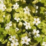 Bacopa Golden Leaves