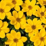 Bidens Golden Glory