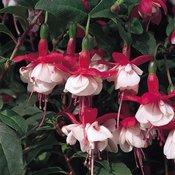 Fuchsia Hardy Snowcap