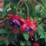 Fuchsia Trailing Dark Eyes