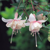 Fuchsia Trailing Harry Grey
