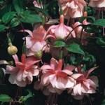 Fuchsia Trailing Southgate