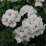 Geranium Ivy Leaf Blanche Roche
