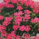 Geranium Ivy Leaf Mini Cascade Red