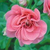 Geranium Ivy Leaf Sybil Pink