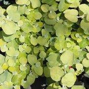 Helichrysum Gold