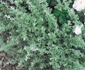 Helichrysum Micro