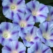 Ipomoea Electric Blue