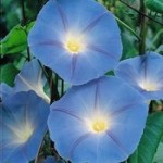 Ipomoea Heavenly Blue