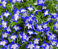 Lobelia Superstar