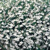 Lobelia White Star