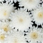 Marguerite Madeira Double White