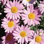 Marguerite Pink