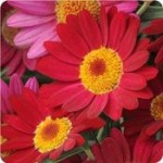 Marguerite Madeira Red