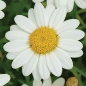 Marguerite Madeira White