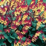 Mini Lobata Fire Vine