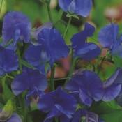 Sweet Pea Blue Velvet