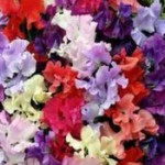 Sweet Pea Heaven Scent Mix