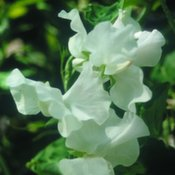Sweet Pea White Ensign