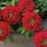 Verbena Aztec Dark Red