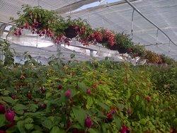 Fuchsia Basklets