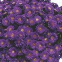Aster Magic Purple