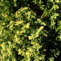 Chamaecyparis Ellwoods Gold