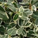 Euonymus Emerald Gaiety