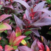 Leucothoe Royal Ruby