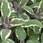 Salvia Tricolor