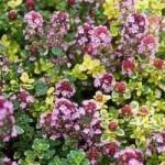 Thymus Doone Valley