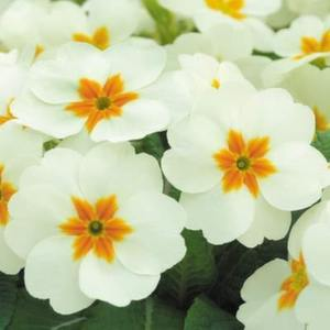 primrose_cottage_cream