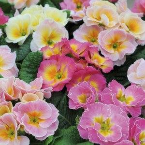 primrose_sweetheart