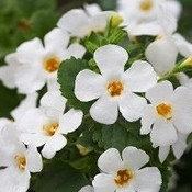 Bacopa Epic White