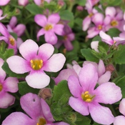 Bacopa XXL Central PinkJPG
