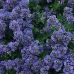 Diascia Blue Belle