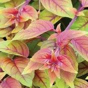 Fuchsia Autumnale