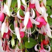 Fuchsia Cascade