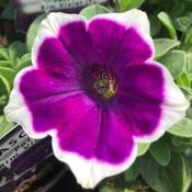 Petunia Rim VioletJPG