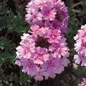 Verbena-Tapien-Pink