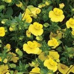 bacopa_yellow