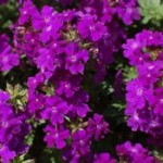 verbena-tapien-violet-1768-p