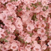 Diascia-Little-Dazzler-003