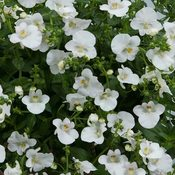 Diascia Morning Mist Clear White