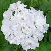 Geranium Classic White