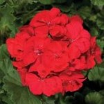 Geranium Dark Red
