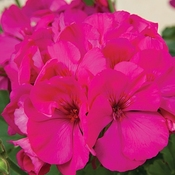 Geranium Tango Dark Pink