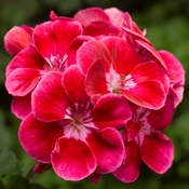 Geranium Tango Deep Rose