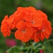 Geranium Tango Orange