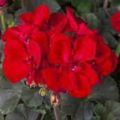 Geranium Tango Velvet Red